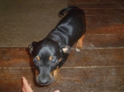 Bo, the new Catahoula pup